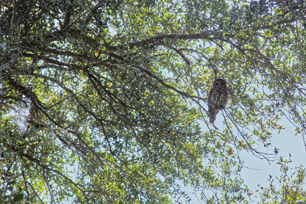 Owl in the Tree thumbnail