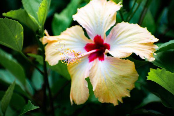 Hibiscus in Guam thumbnail