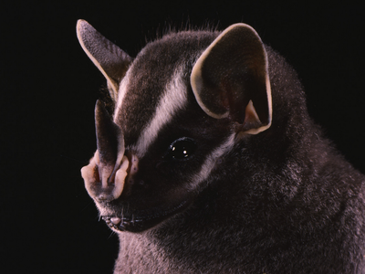 Baby bats are born tipping the scales at a third of their adult weight, and since mama bats have to carry them until they can fly, at which point they are nearly full-grown, it's no wonder they start to get a bit physical.