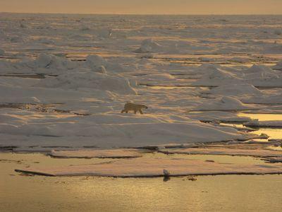 A polar bear walks on the ice of the Beaufort Sea in Arctic Alaska.