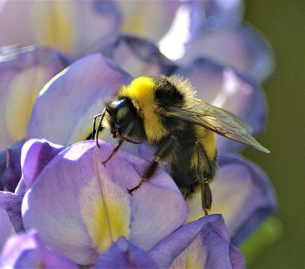 Bumble Bee thumbnail