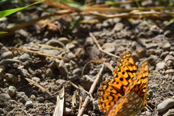 Candid Butterfly thumbnail