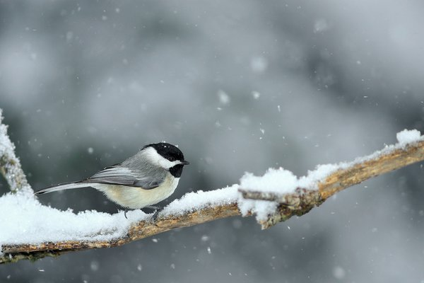 Black-capped Chickadee in snowstorm thumbnail