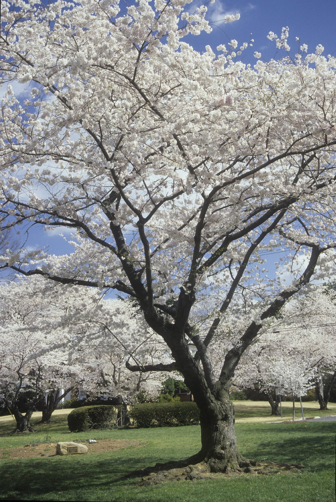 A cherry blossom tree in bloom on a sunny day.