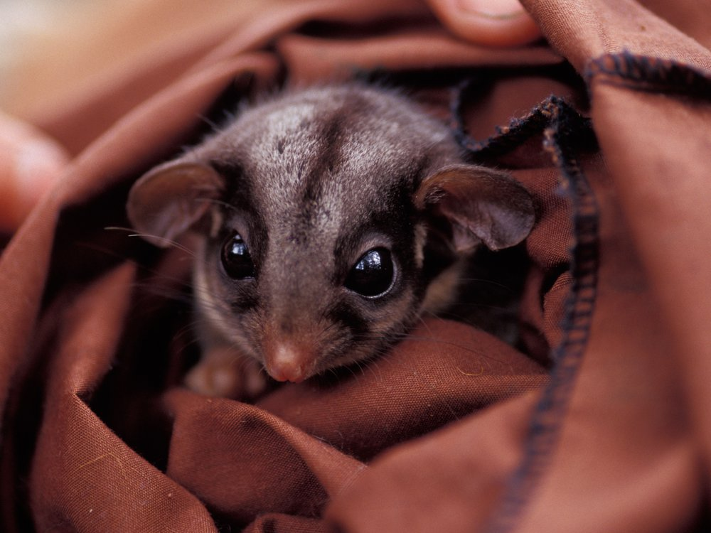Leadbeater possum