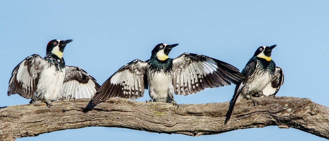 Three woodpeckers perched on a branch with their wings spread