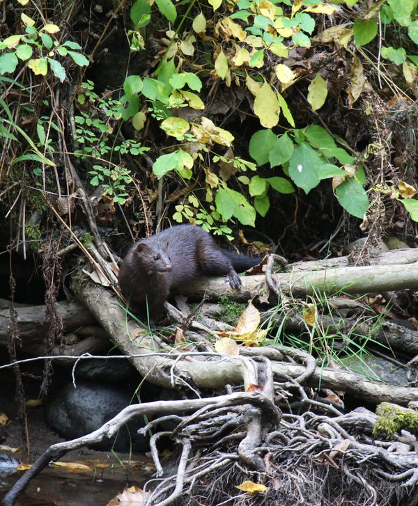 Mink on the bank of the river thumbnail