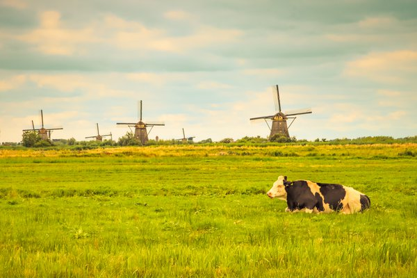 A Cow Relaxes Near Windmills thumbnail