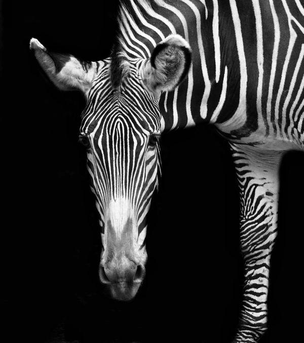 Zebra Portrait thumbnail
