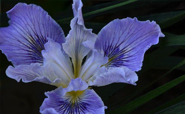 Pacific Coast Iris thumbnail