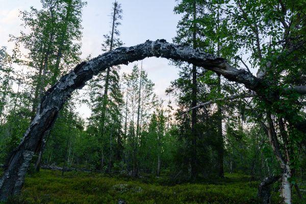 Birch arch thumbnail