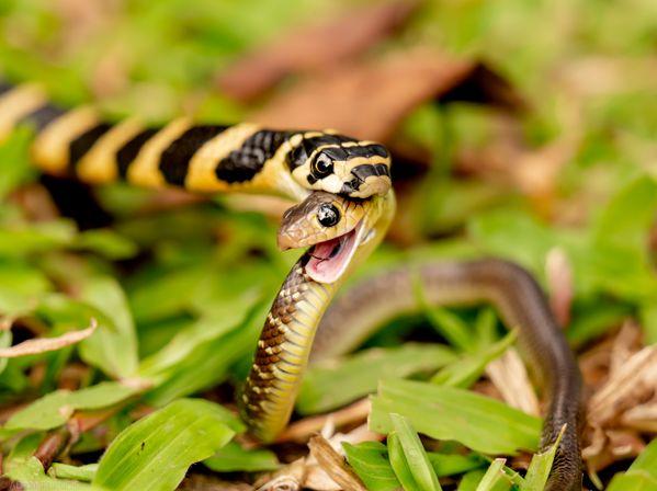 A juvenile King Cobra eats a juvenile Indo Chinese Rat Snake thumbnail