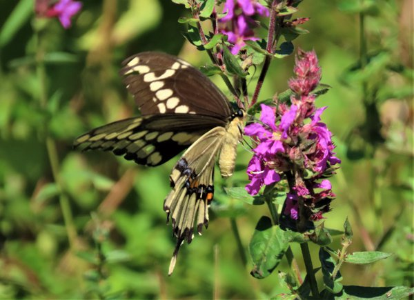 a beautiful swallowtail sampling a wildflower for breakfast. thumbnail