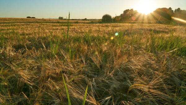 Golden fields of ripening cereals in the Black Earth Region thumbnail