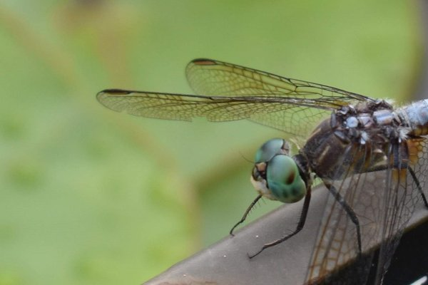 Beady eyed dragonfly thumbnail
