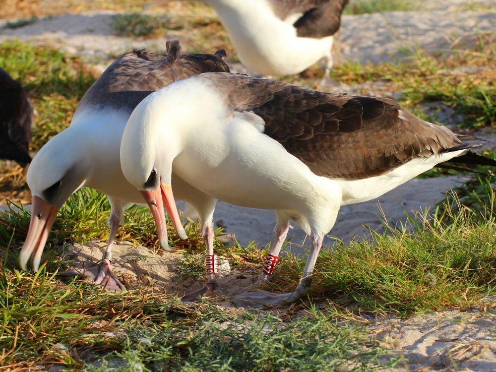 Wisdom the albatross