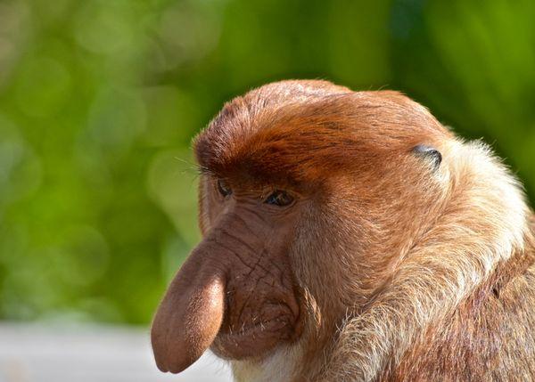"""Big Daddy"" at Labuk Bay Proboscis Monkey Sanctuary thumbnail"