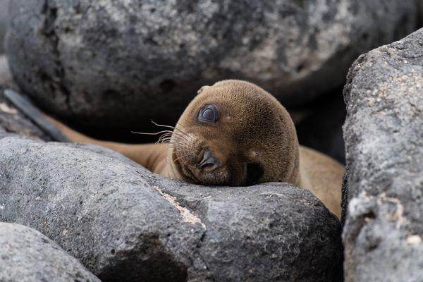 Sea Lion Pup, Galapagos Islands thumbnail