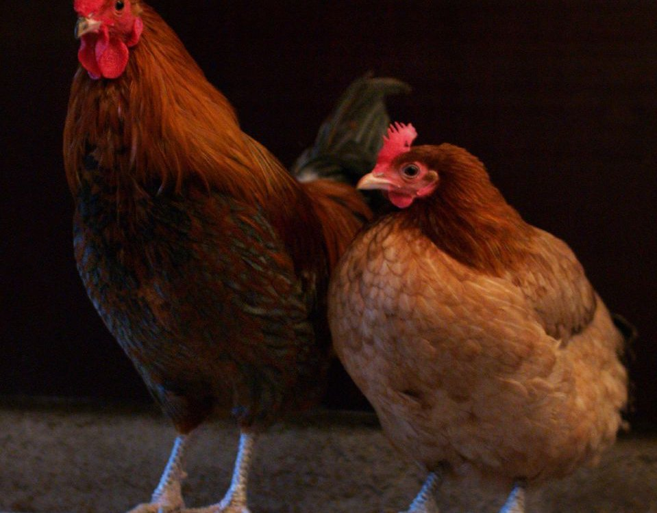 A cock and a hen roosting together