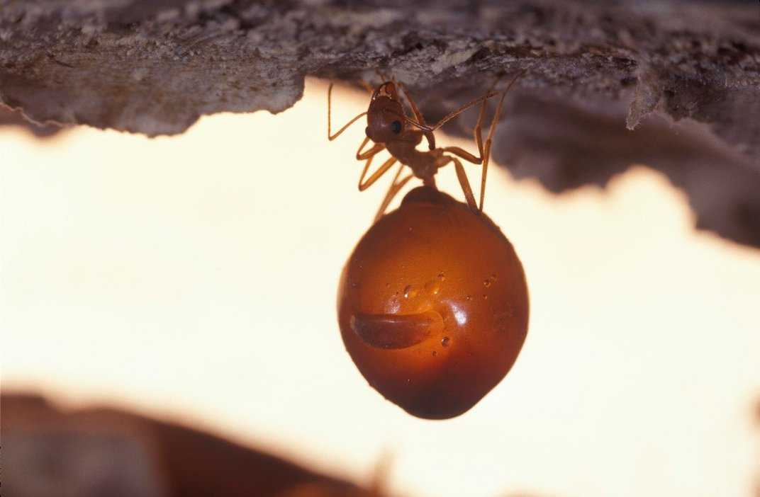 Ant hangs from tunnel ceiling with abdomen full of nectar