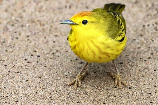 Little yellow bird  thumbnail