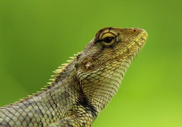 Garden Lizard thumbnail