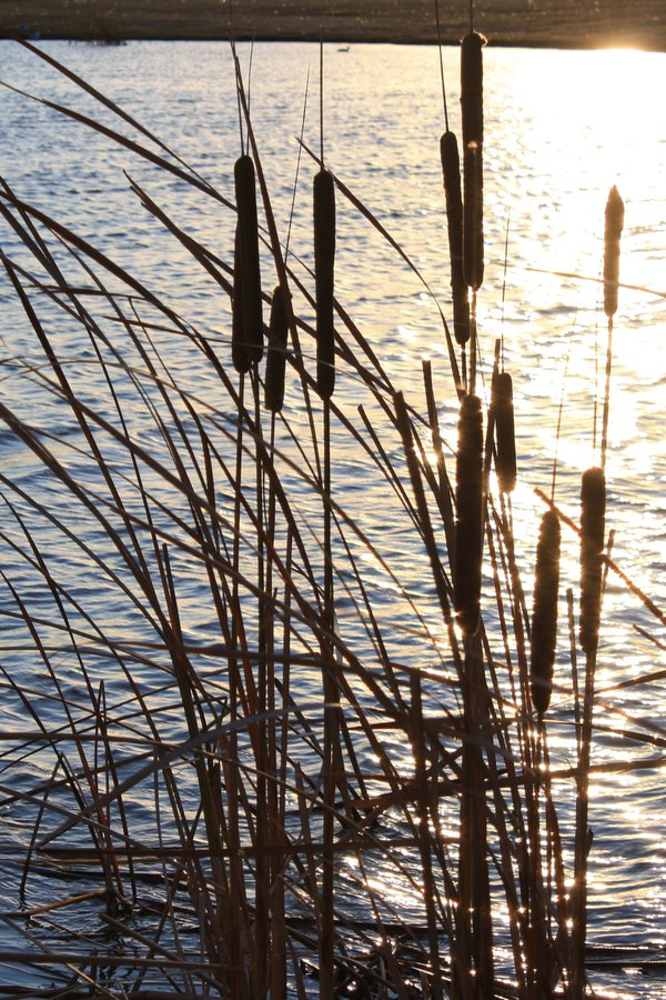 Pussy Willows at sunset thumbnail
