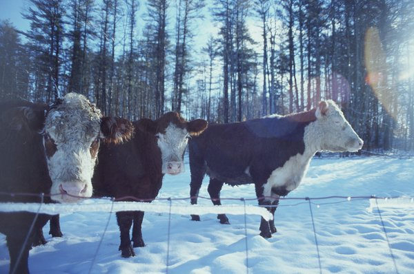 Heffer Cows in the Snow thumbnail