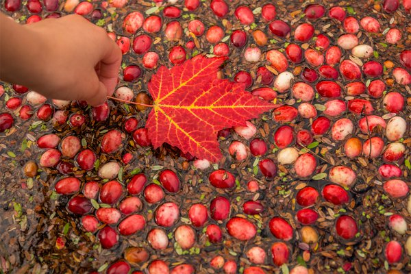 Cranberry harvest in Bala, Muskoka, Canada thumbnail