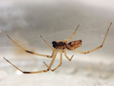 The male brown widow spider may not be as unlucky in love as we once thought.