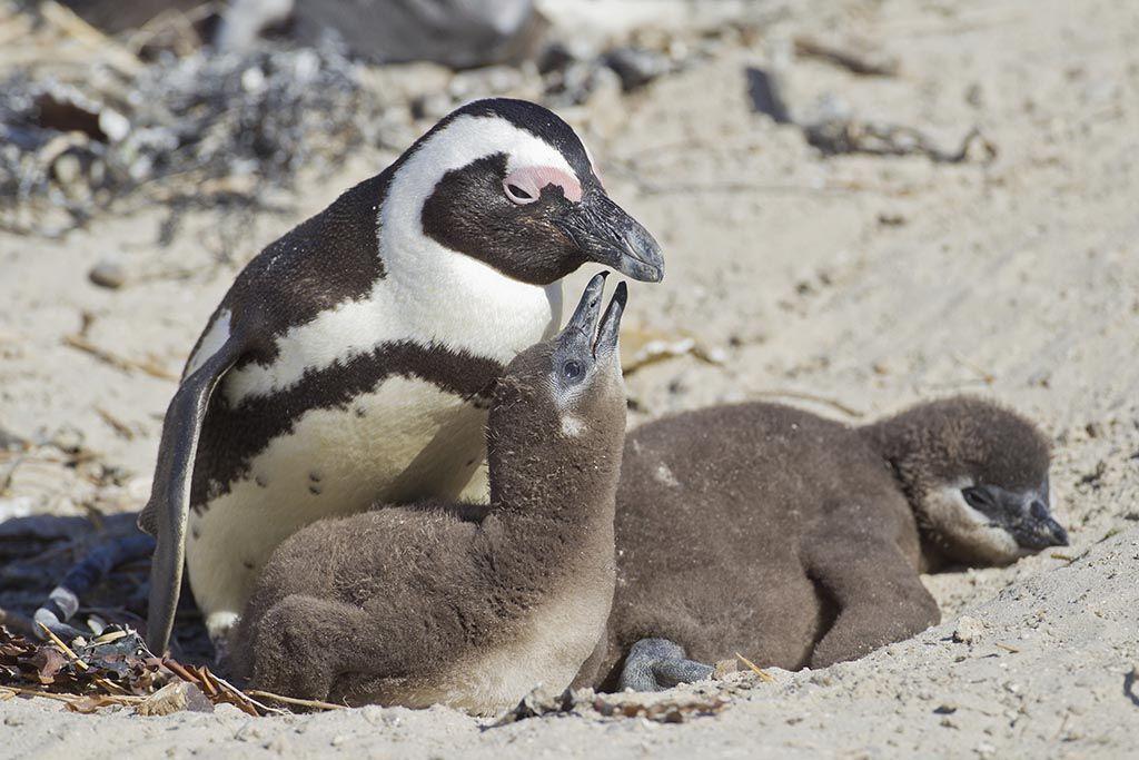 Scientists Decode African Penguin Calls