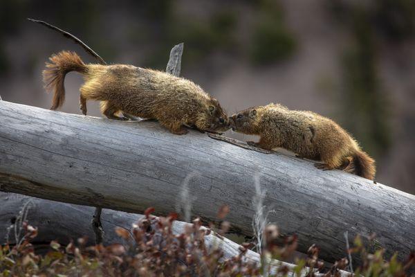 Marmot kiss thumbnail