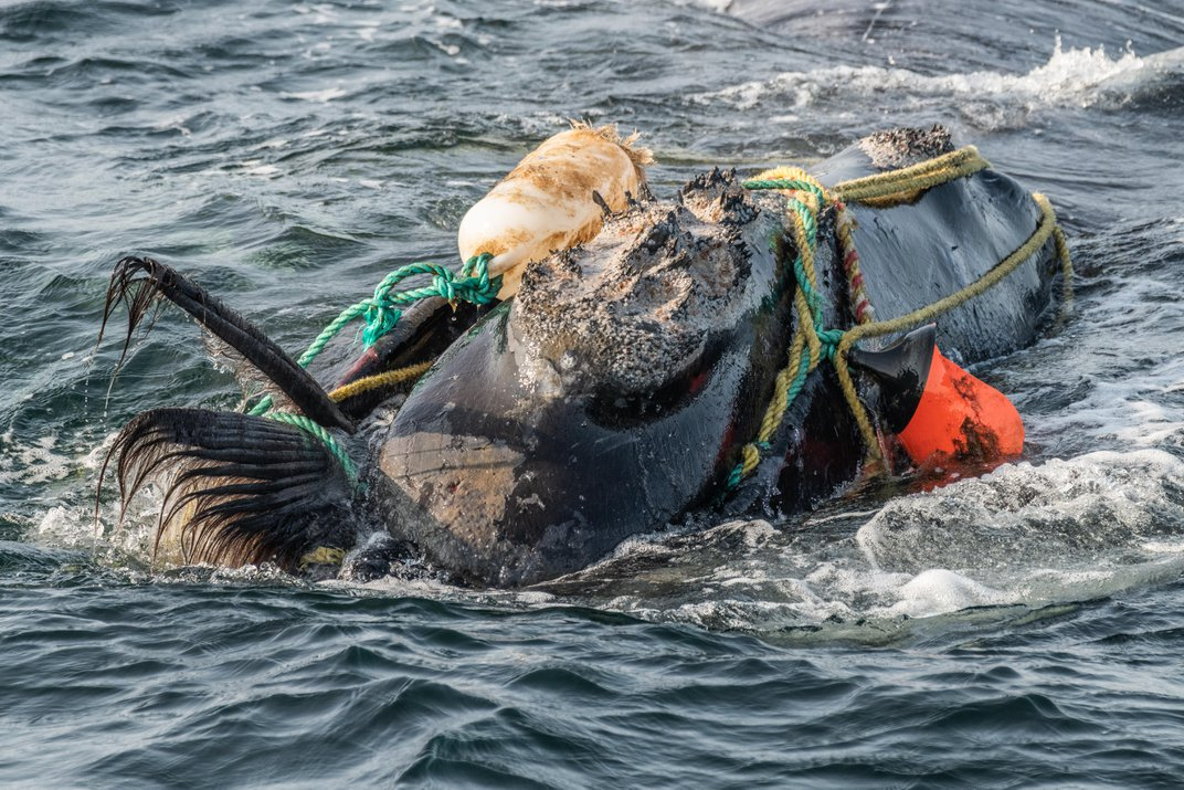 The Plight of the Right Whale