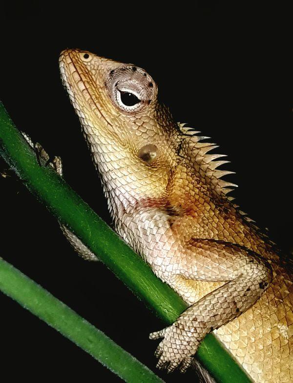 An Oriental Garden Lizard thumbnail