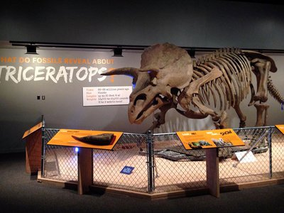 """""""Hatcher,"""" a large Triceratops, greets visitors exploring the National Museum of Natural History's new exhibition, """"The Last American Dinosaurs: Discovering a Lost World."""""""