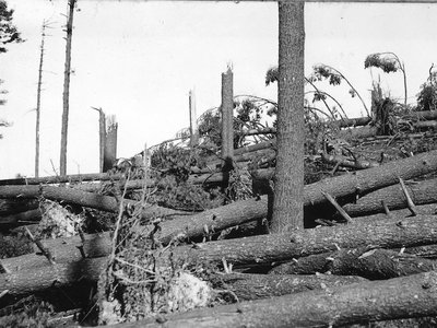 A southern New Hampshire pine forest was entirely blown down in the hurricane of 1938.