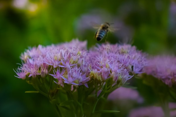 A flying bee and a flower thumbnail