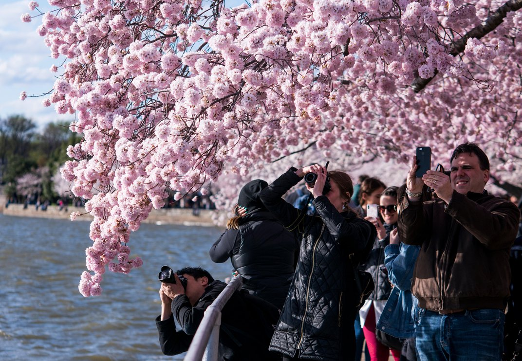 Take In the Scene of Washington's Cherry Blossoms at Peak Bloom