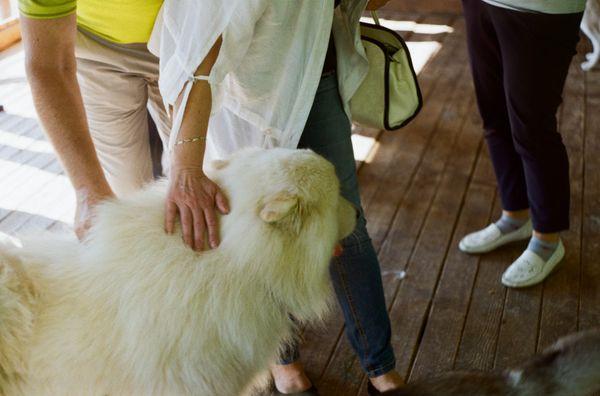 Samoyed dog thumbnail