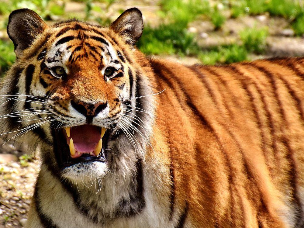 tiger-2341920_1920.jpg