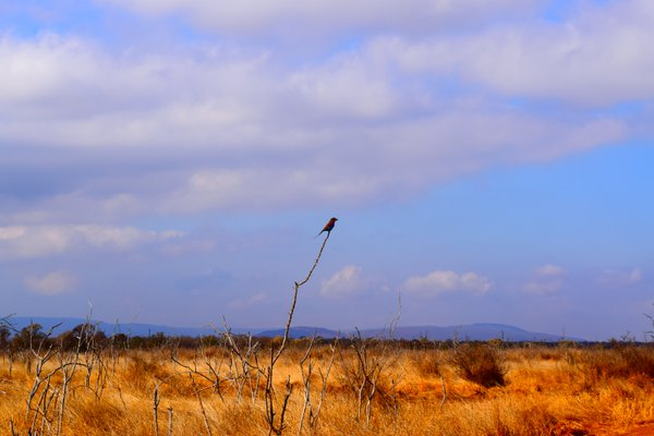 A single bird on the African plains  thumbnail