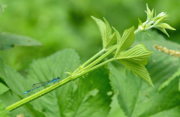 Blue Dragonfly thumbnail