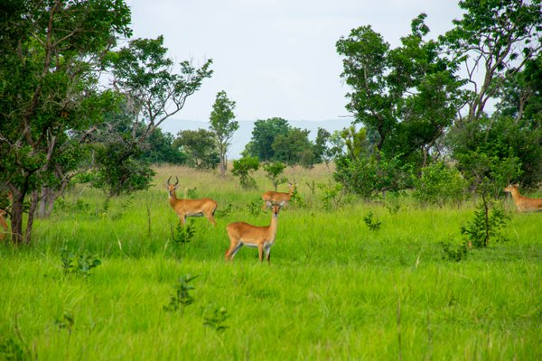 Kob Antelope in Shai Hills Nature Reserve, Greater Accra, Ghana thumbnail
