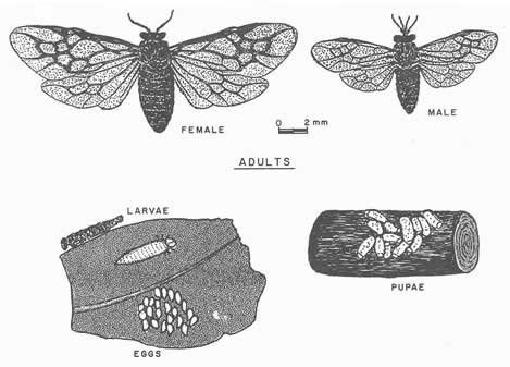 Drawing from Insects of the Luquillo Mountains, Puerto Rico