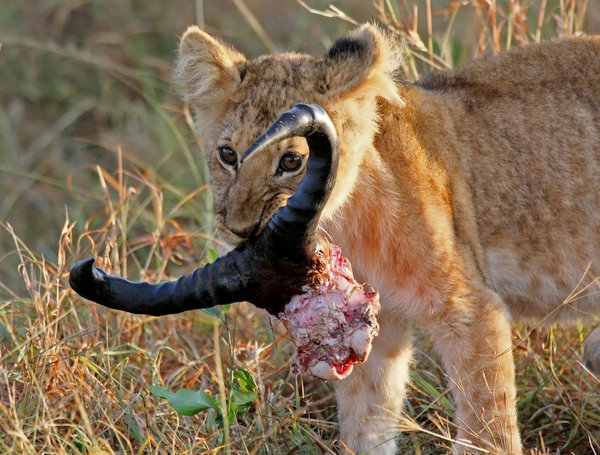 Lion cub with its prize, the skull and horns of a young Wildebeast thumbnail