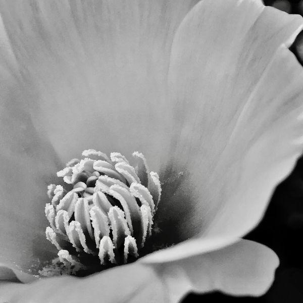 Poppy thumbnail