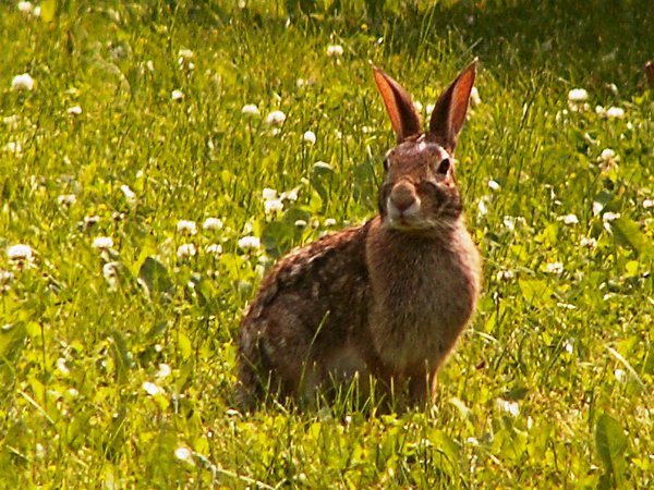 A wild rabbit has its ears tuned in for every sound as it waits for its mate. thumbnail