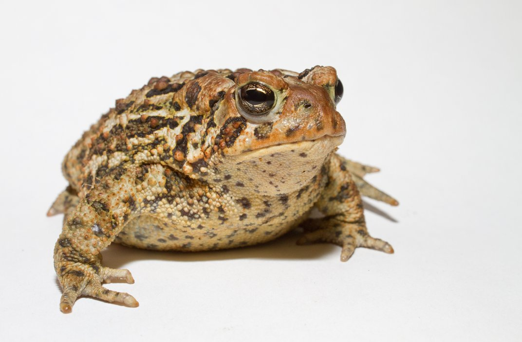 American toad is a species of toad found throughout the eastern United States and Canada. Did you know that all toads are actually frogs?