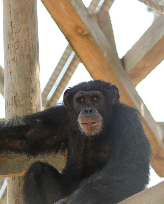 Ebola Vaccine For Chimps Could Help Save Wild Populations