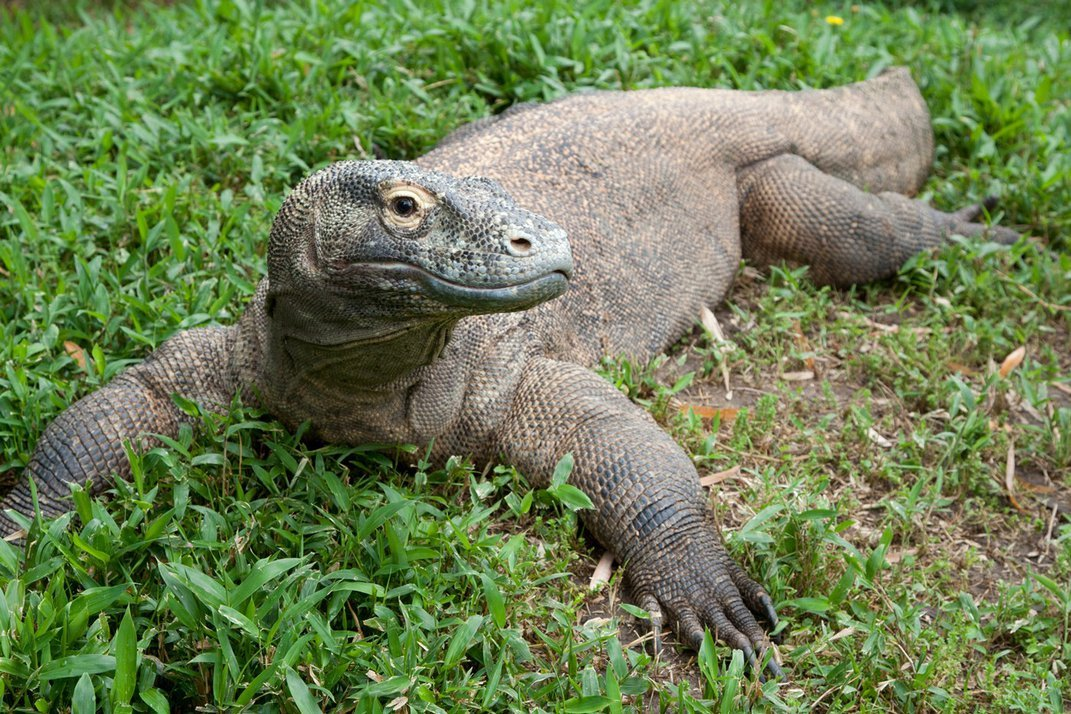 A 22-year-old Komodo dragon with a large, heavy body, scaly skin and large claws stands in the grass.